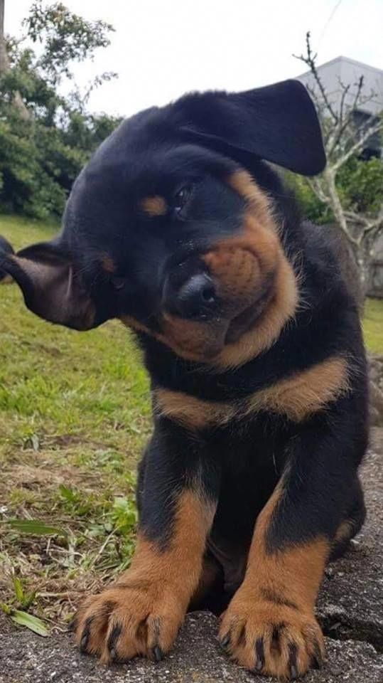 Everything we all like about the Playful Rottweiler Pups