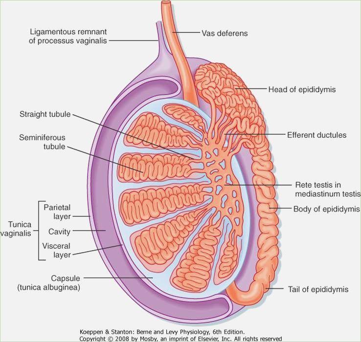 Image result for testis anatomy | Block 8 | Pinterest | Anatomy