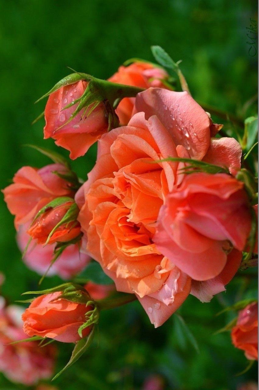 Pin De Jose Maria Em Bau De Flores Com Imagens Rosas Vermelhas