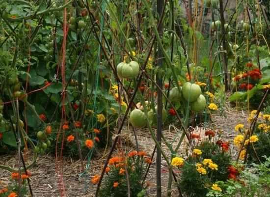 ou planter mes tomates