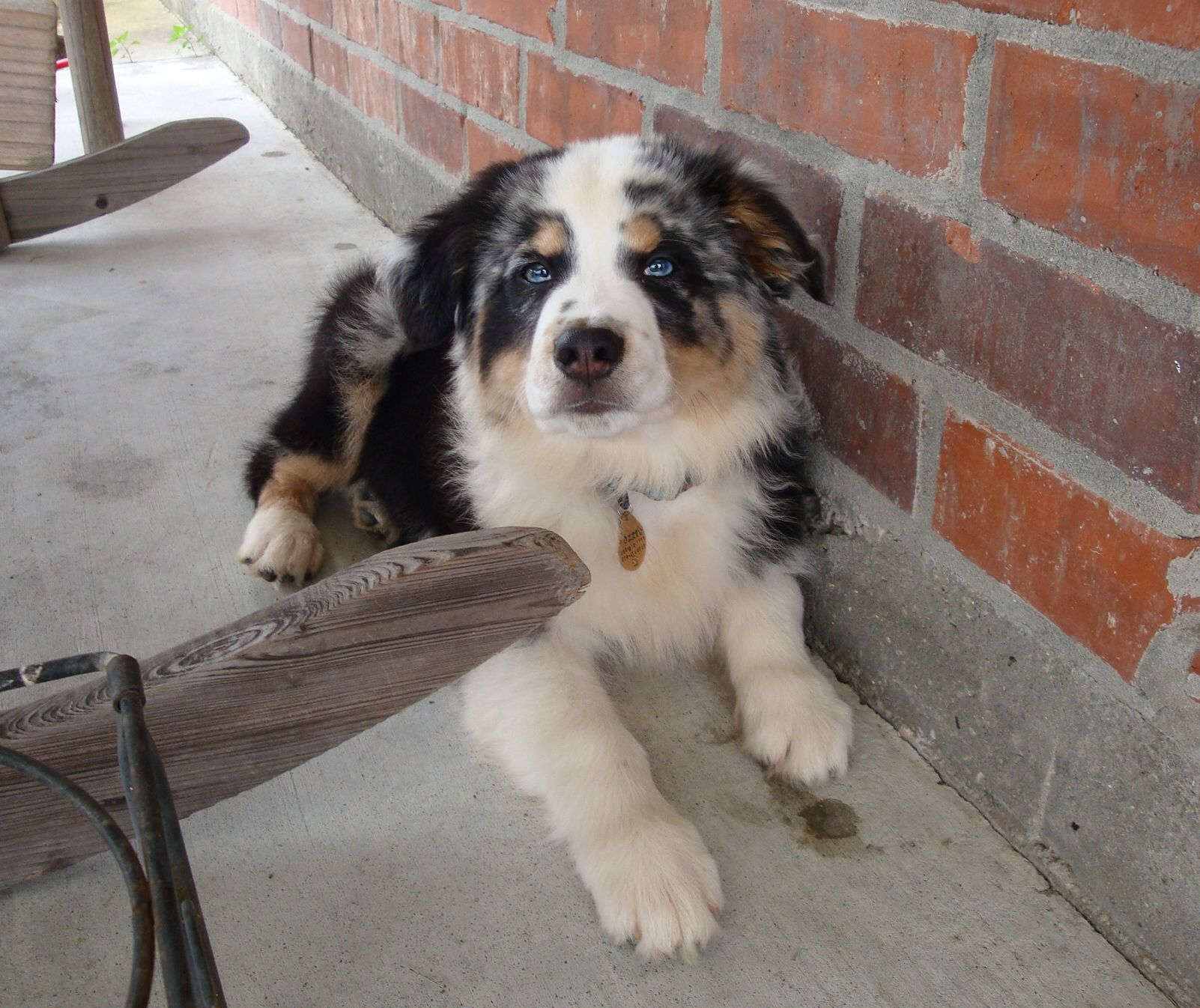 Love This Baby Boy Australian Shepherd Love Aussie Dogs