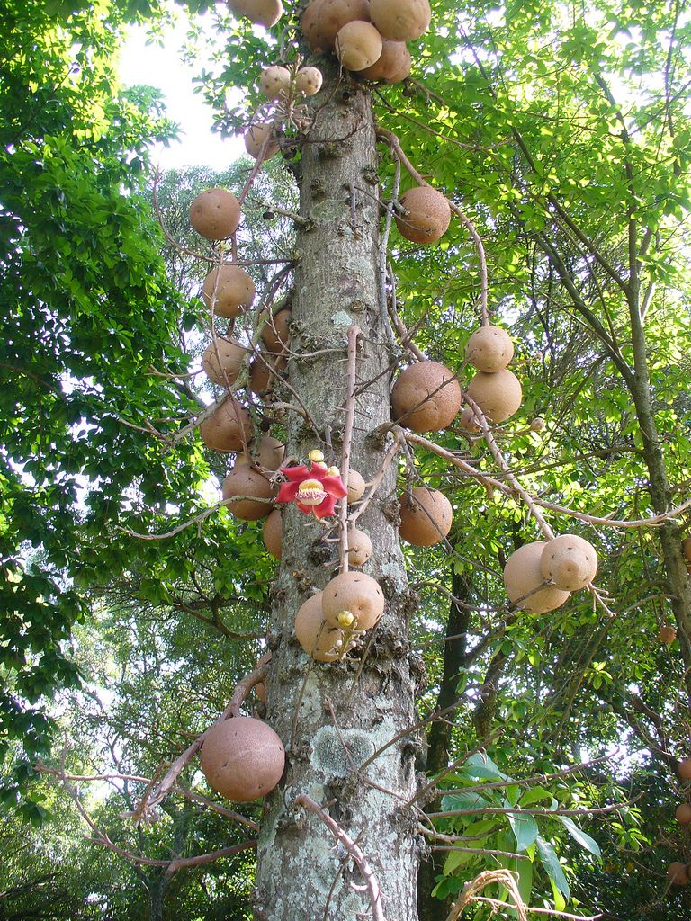Cannonball Tree [Couroupita guianensis]-have seen this in India! The flower is offered while worshipping Shiva and is called Nagchampa or Kailashpati.