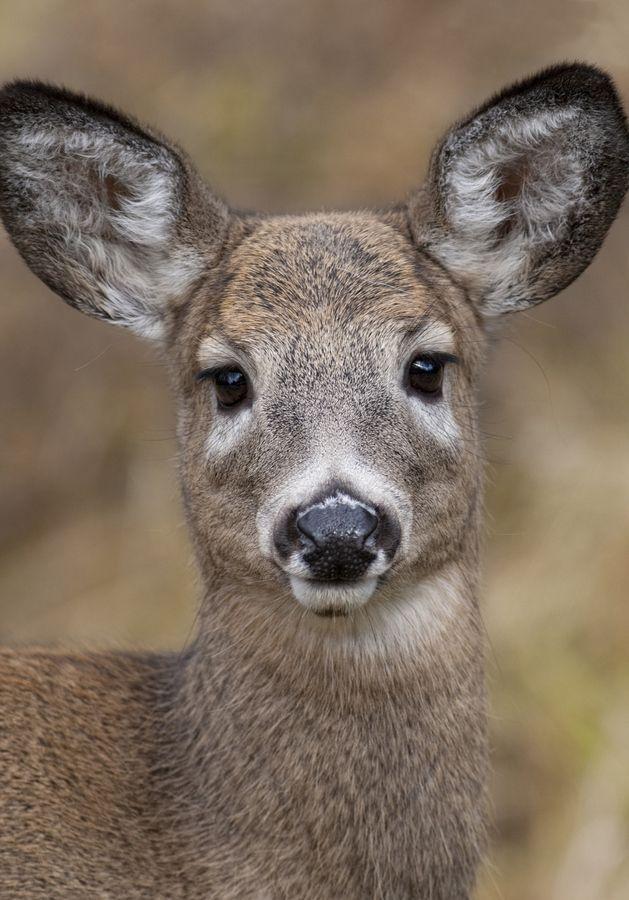 Chevreuil Deer Doe