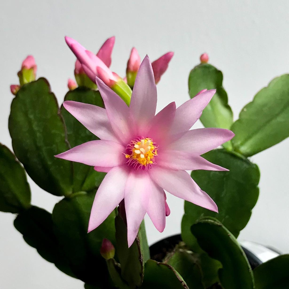 Easter Cactus (rhipsalidopsis hybrid) flowering in 2020