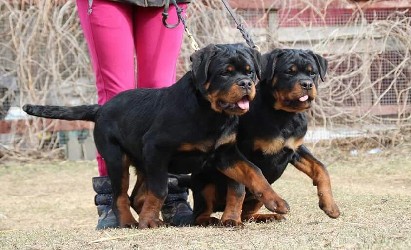 Russian Rotts brother and sister