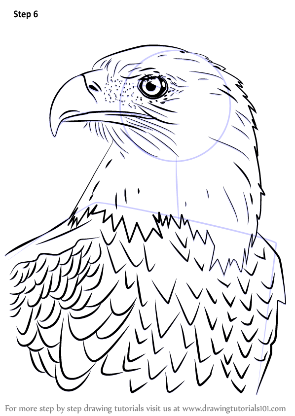 Learn How To Draw Bald Eagle Head Bird Of Prey Step By Step Drawing Tutorials Eagle Sketch Eagle Drawing Eagle Painting