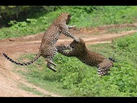 National Geographic 2015 HD Documentary, Nat Geo Wild Nature & Wildlife Wild Sri Lanka: Forest of Clouds. Nat Geo Wild HD, National Geographic 2015 Do.