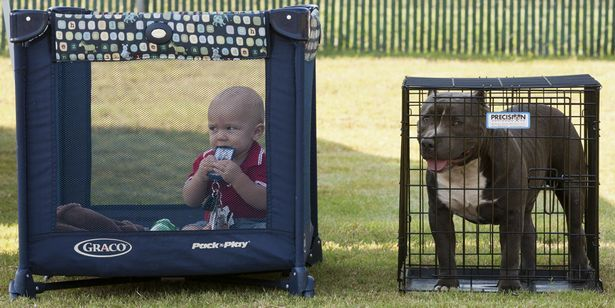 "Cute pic of the day #pets | Sept. 22, 2012-CONYERS: Ty Todd and his family dog American Bully ""Boss"", both nine-months-old, wait for the start of The Atlanta Bully BBQ Saturday, Sept. 22, 2012 at the Georgia International Horse Park in Conyers. The show featured classes in American Bull breeds and Single French Bulldogs. KELLY J. HUFF/SPECIAL"