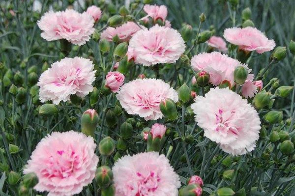 Gardenia Rhs Award Of Garden Merit Very Compact And Free Flowering Dianthus Candy Floss Pink Is A Dianthus Flowers Dianthus Caryophyllus Pink Flowers