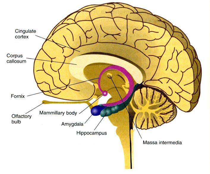 Spatial Relationships Between The Corpus Callosum Amygdala Hippocampus Mammillary Bodies And Other Medi Brain Anatomy Human Brain Anatomy Hippocampus Brain