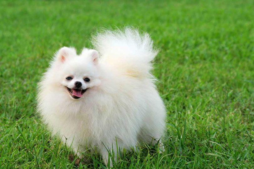 كلب بومرينيان Pomeranian Puppy Pomeranian Dog Top Dog Breeds