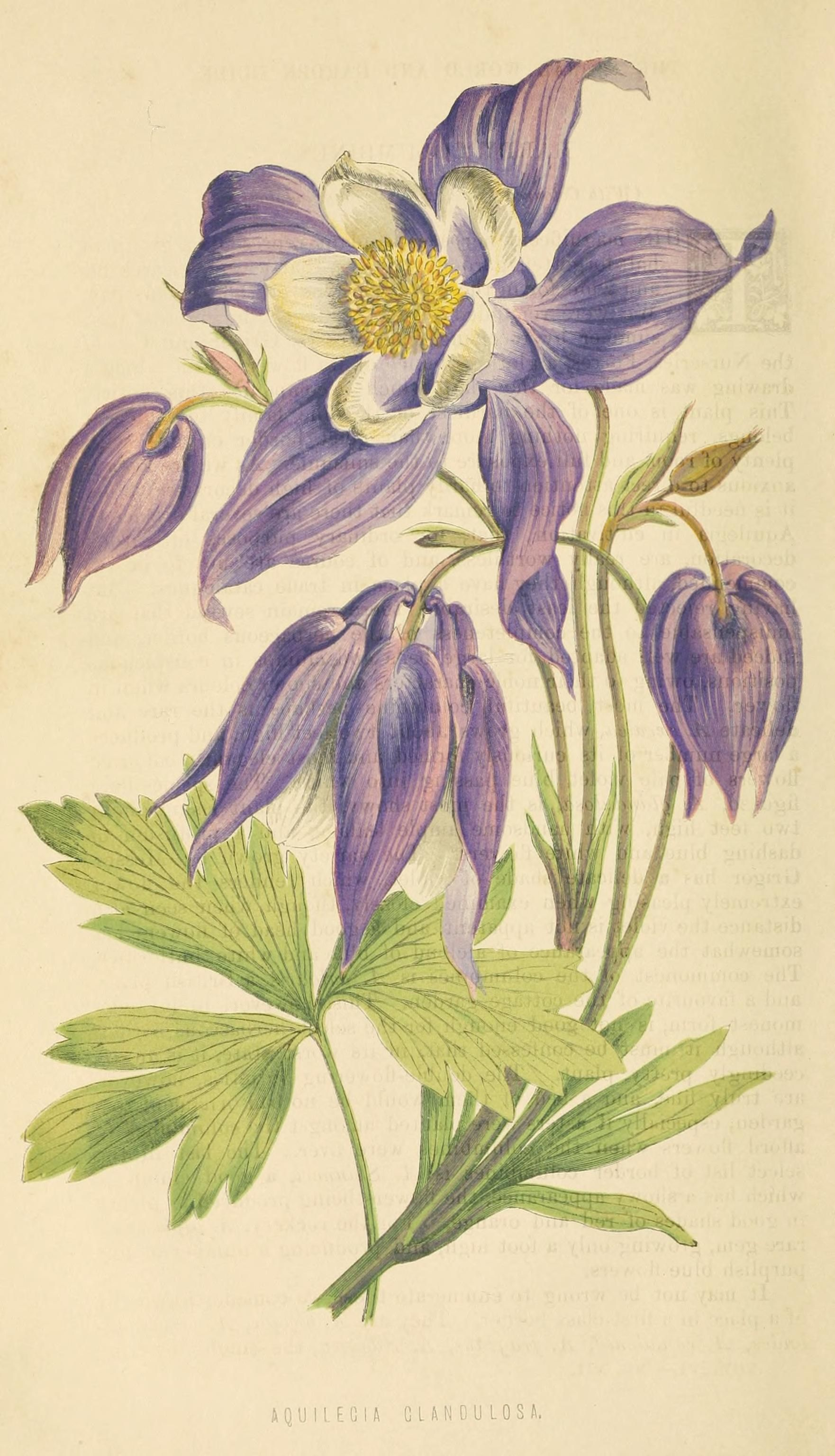 Pin By Alp Bakaev On Vintage Botanical Botanical Illustration Botanical Drawings Botanical Painting
