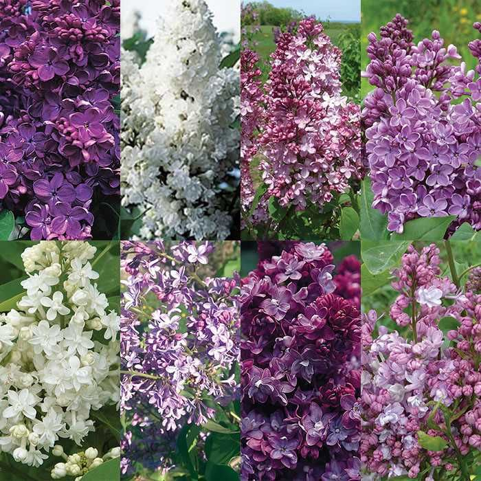 Classic Favorites Lilac Offer Flower Seeds Annual Plants Lilac Varieties