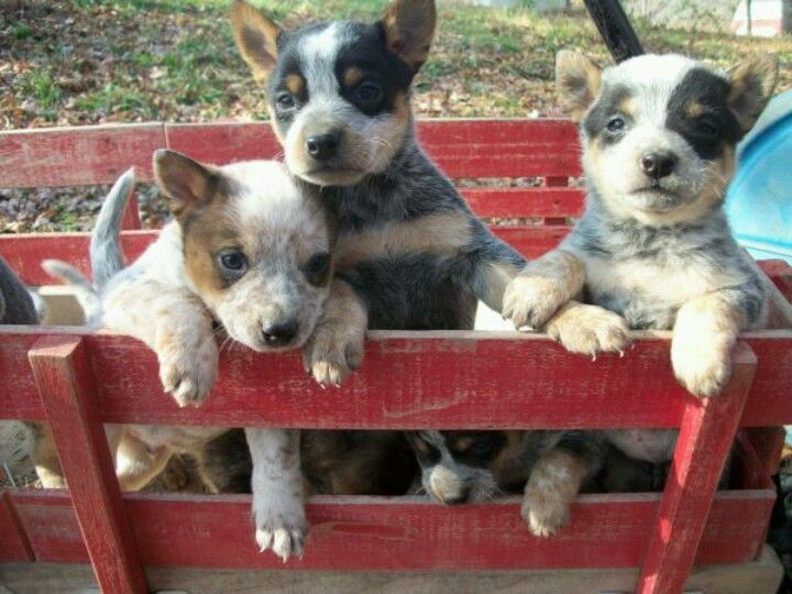 Heeler Pups Austrailian Cattle Dog Cattle Dogs Rule Australian Cattle Dog Puppy