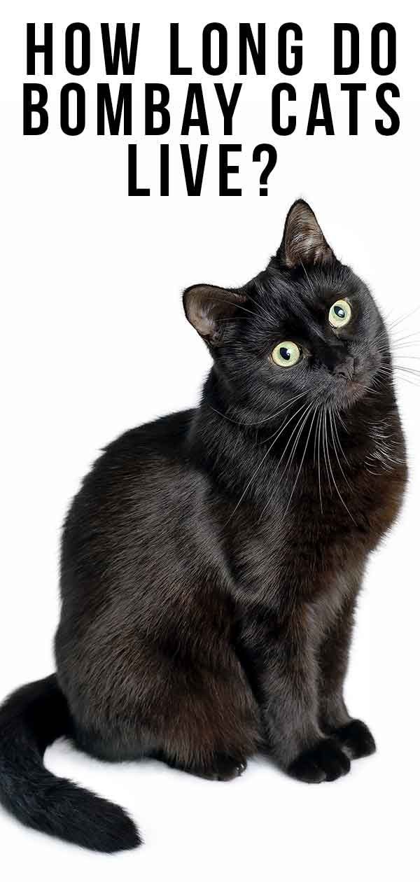 38 Bombay Cats Ideas Cats Bombay Cat Cute Cats