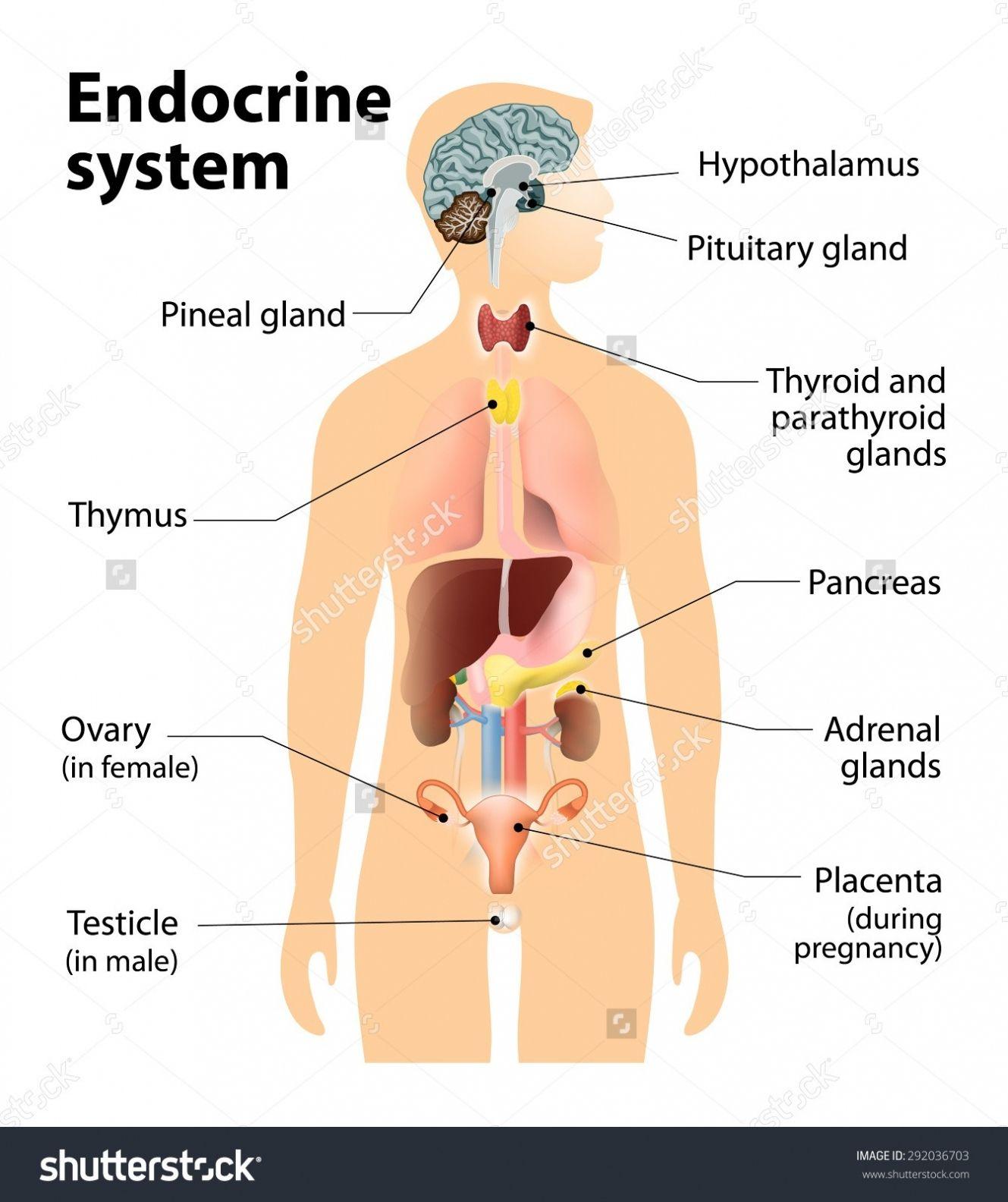Organ Diagram Female Body Organ Diagram Female Body Nett