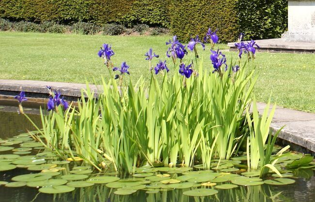 How To Plant Water Iris Plants In A Backyard Pond Pond Landscaping Ponds Backyard Water Plants For Ponds