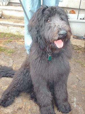 7 Mos Old Shepadoodle German Shepherd Standard Poodle Hope To