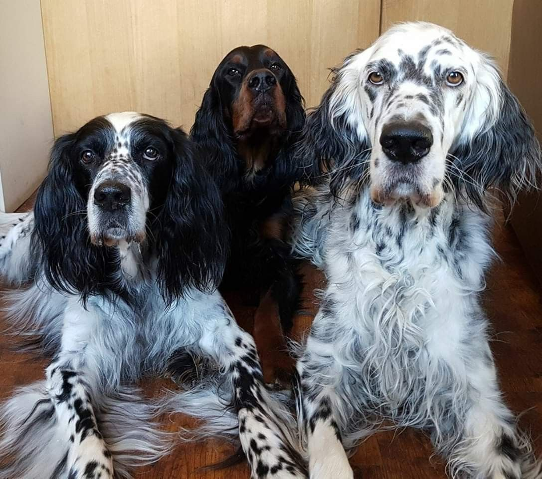 Setter Party Hundesalon Gordon Setter Hunde Shop
