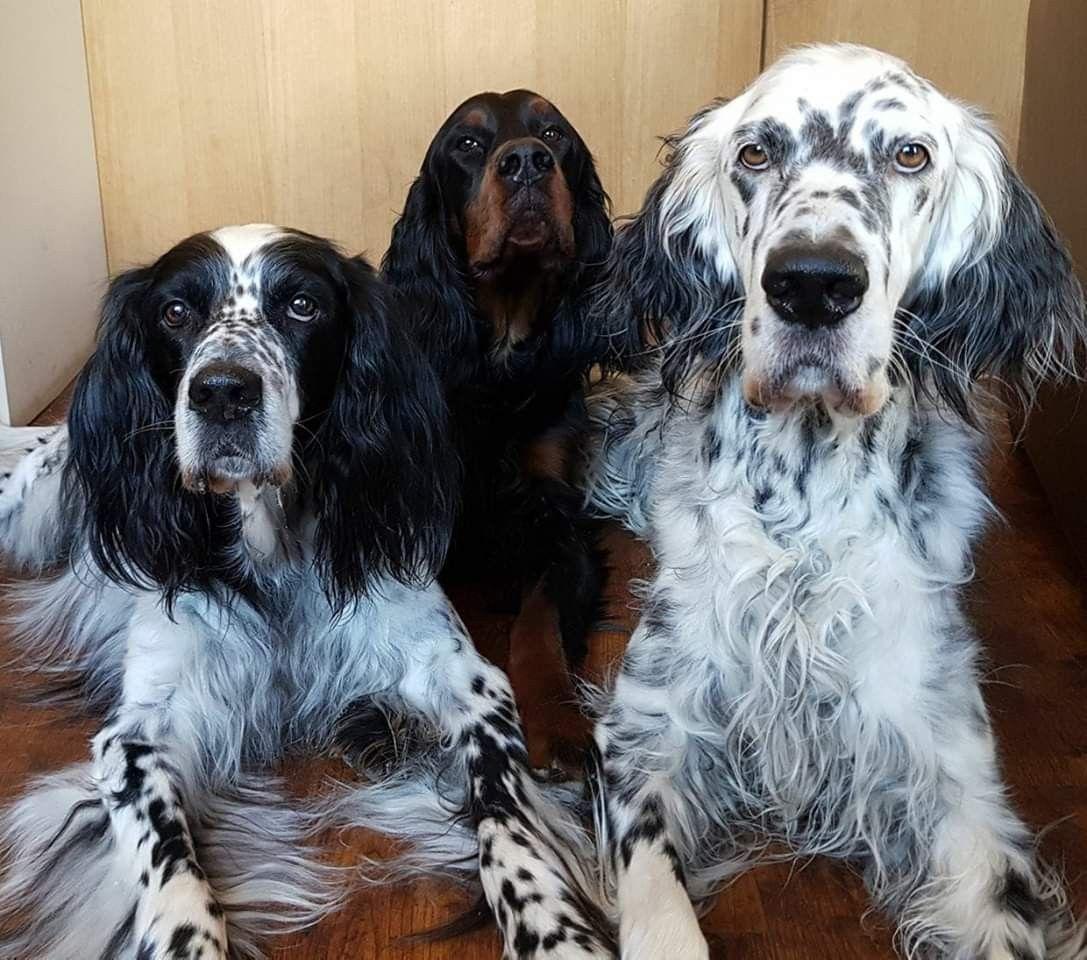 Setter Party Hundesalon Gordon Setter Hunde Shop