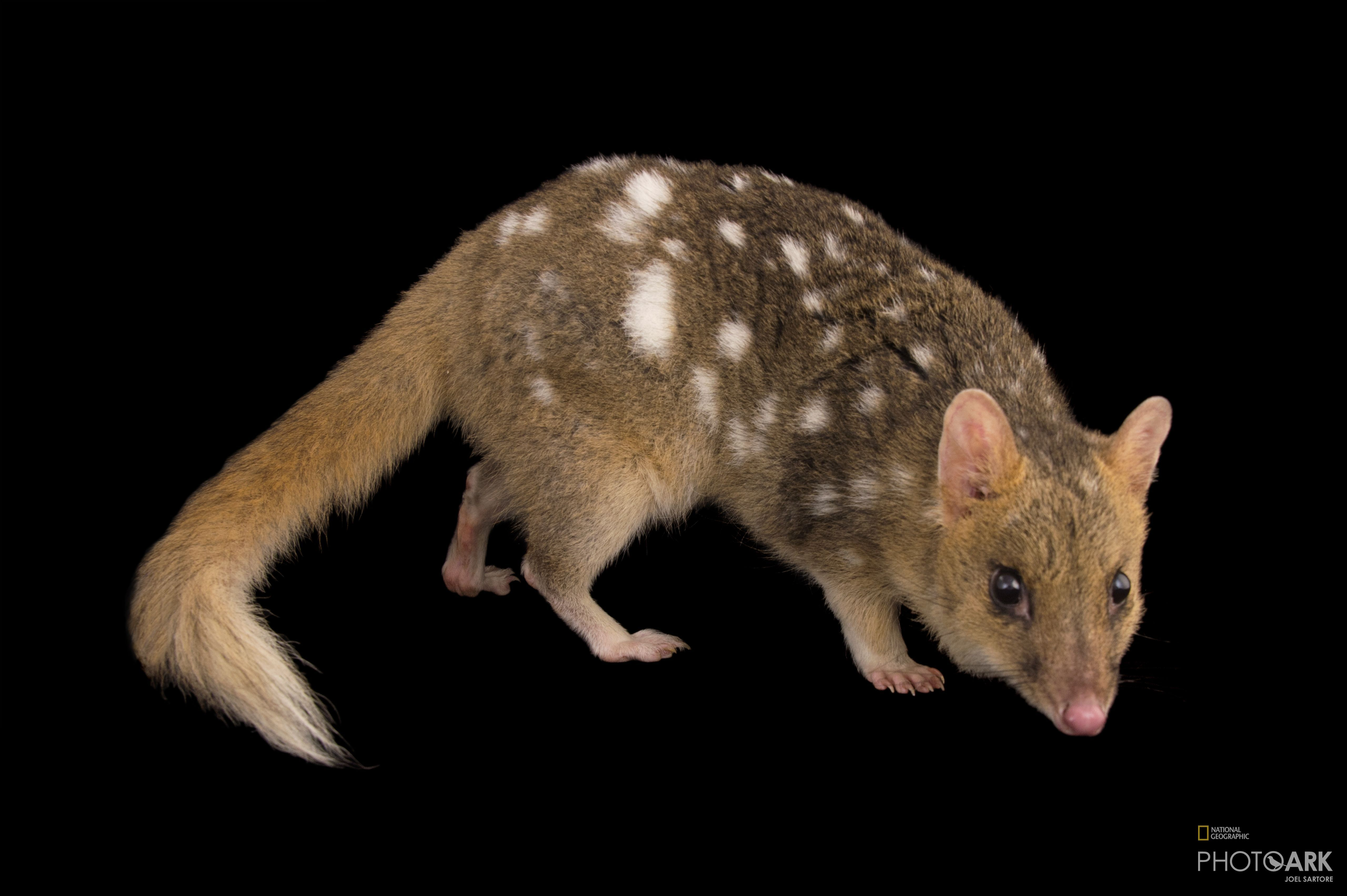 Photo Ark Home Federally Endangered Eastern Quoll