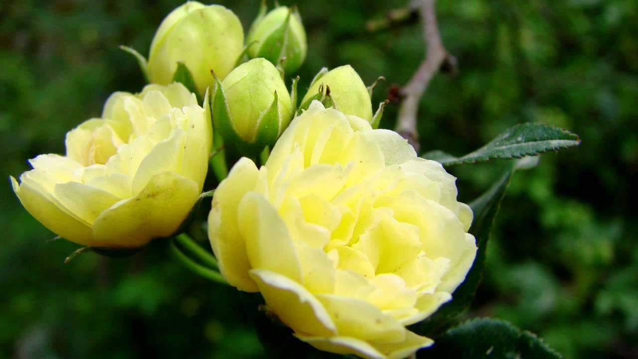 Lady Banks Rose Flower Vinerosa Banksiaetx Yellow Rose