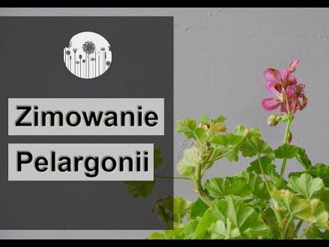 19 Zimowanie I Przechowywanie Pelargonii Jak Przezimowac Pelargonie Youtube Make It Yourself