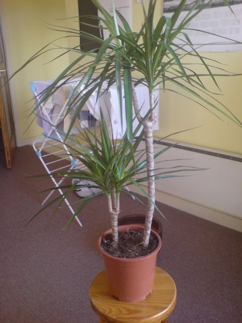 house plants help with identification and edge of leaves turning brown dracaena marginata - Identifying Common House Plants