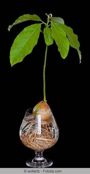 anzucht der avocado pflanzen und garten pinterest garten pflanzen und avocado baum. Black Bedroom Furniture Sets. Home Design Ideas
