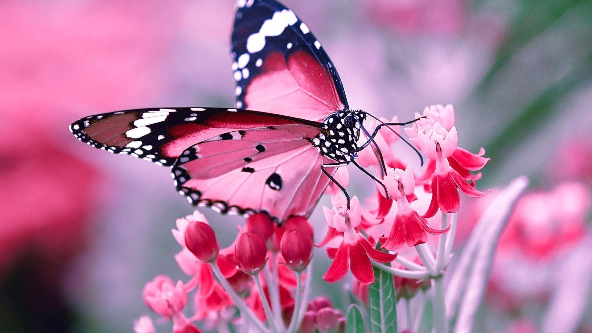 Wallpaper Pink Butterfly Desktop Is Best High Definition Wallpaper Image 2018 You Can Use This Wallp Butterfly Photos Butterfly Pictures Beautiful Butterflies