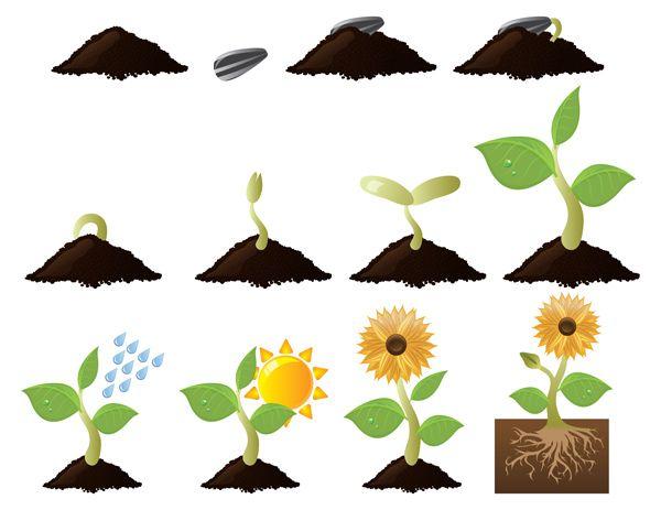 Class Resource: Sunflower germination process A clear ...