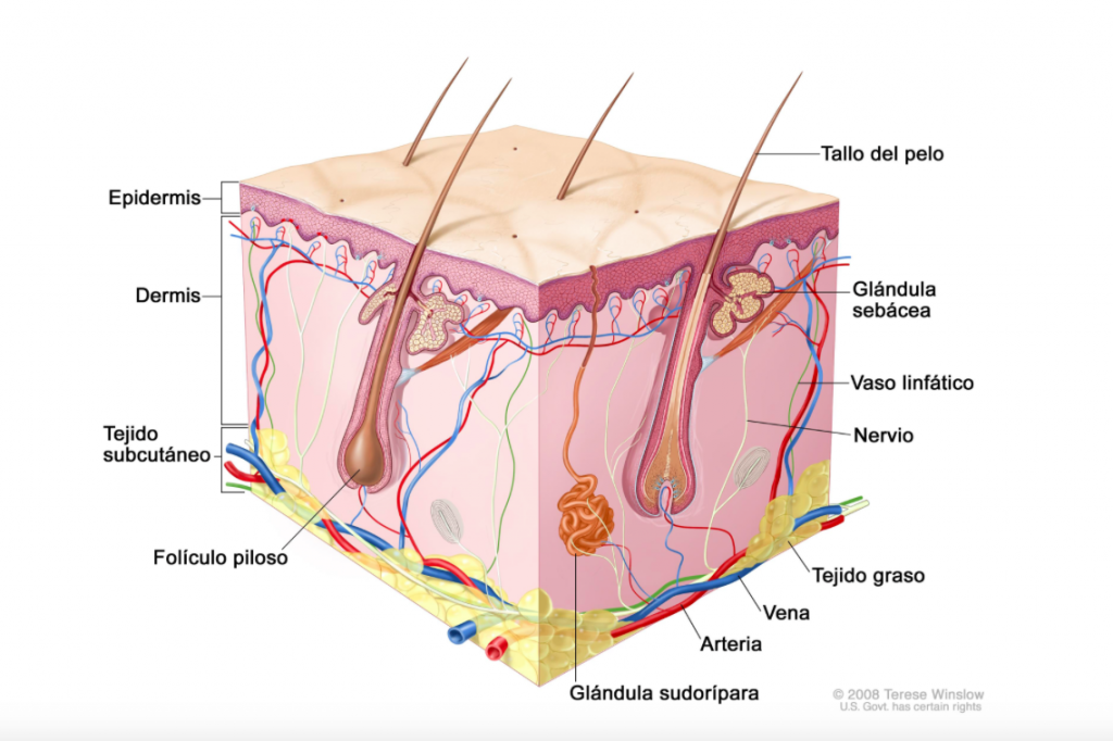 Esquema gráfico de las diferentes capas de la piel | Clinica Vicario ...