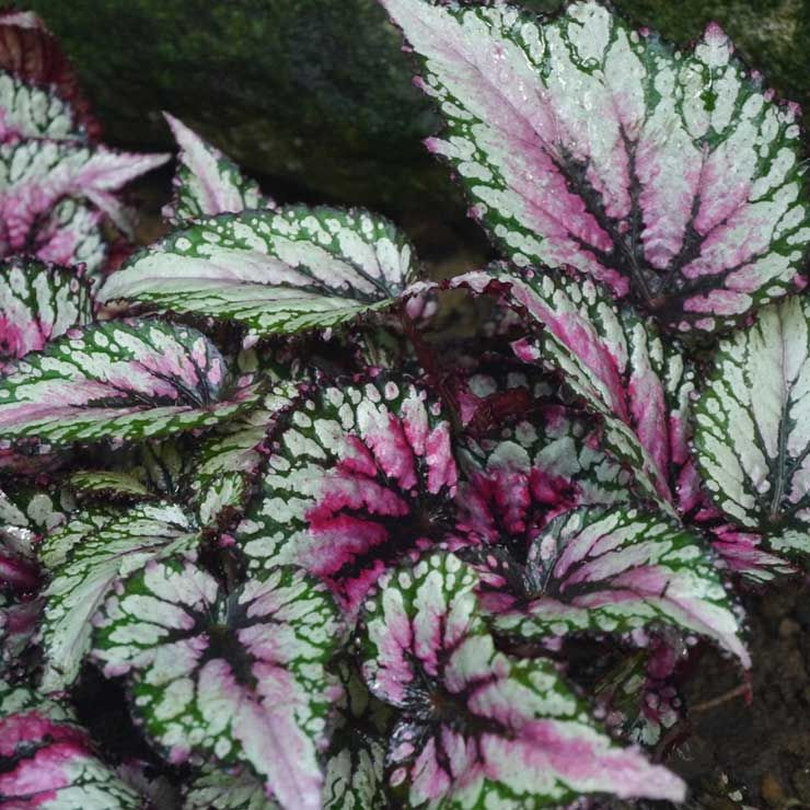 Growing Painted Leaf Begonia Rex Begonia In 2020 With Images Begonia Flowers Perennials Plants