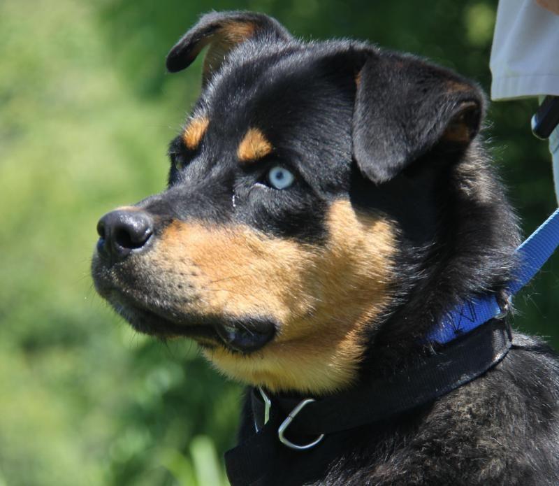Adopt blaze neutered on with images rottweiler husky