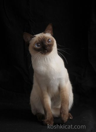 22 Hilarious Pictures Of Wet Cats Cat Bath Tonkinese Cat