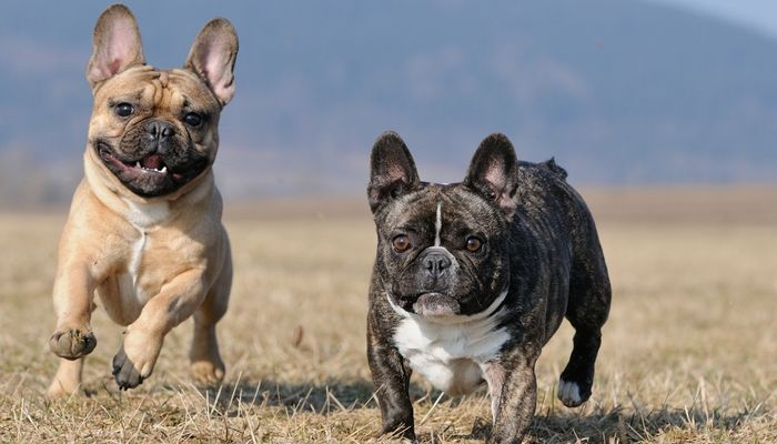 French Bulldog Breed Information Photos History And Care Advice
