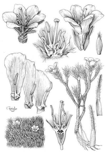 Resultado de imagen para ilustracion botanica mexico margaret flockton
