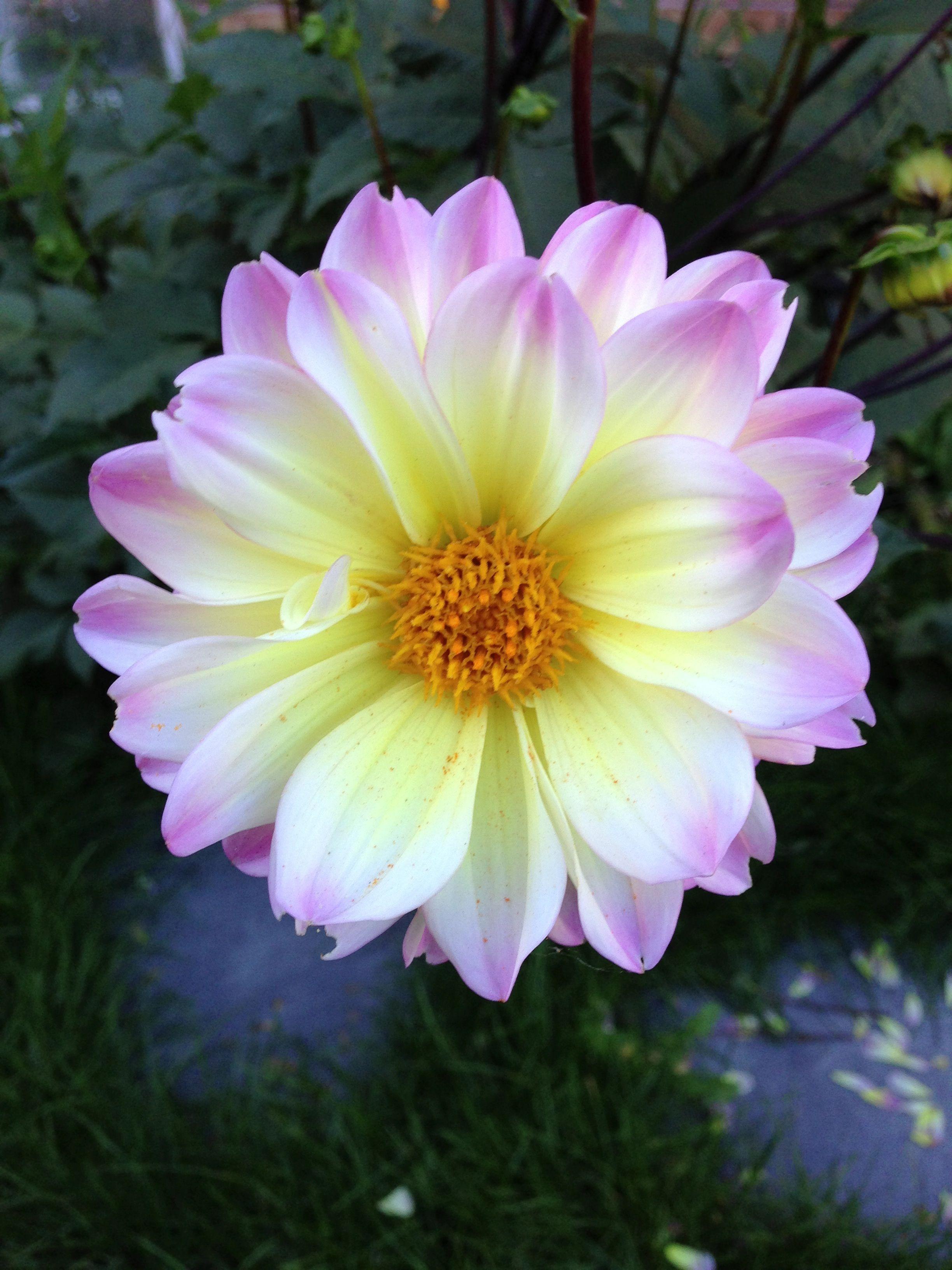 Dahlia with images rainbow garden dahlia blossom flower