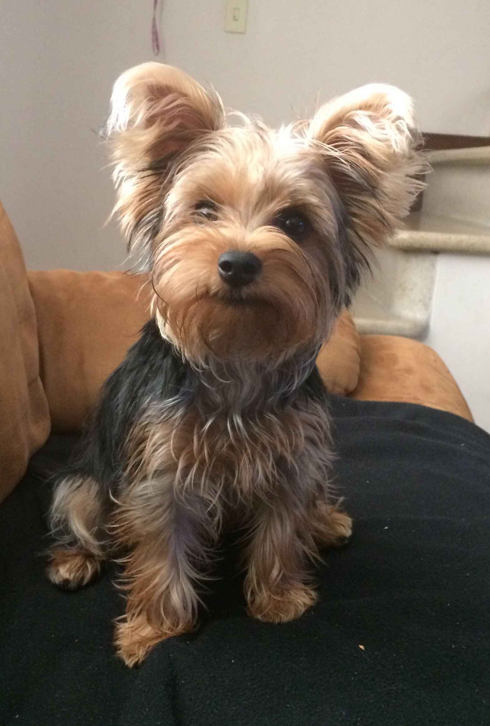 Pin By Marissa Maldonado On Just To Cute Yorkshire Terrier Yorkshire Terrier Puppies Pitbull Puppies