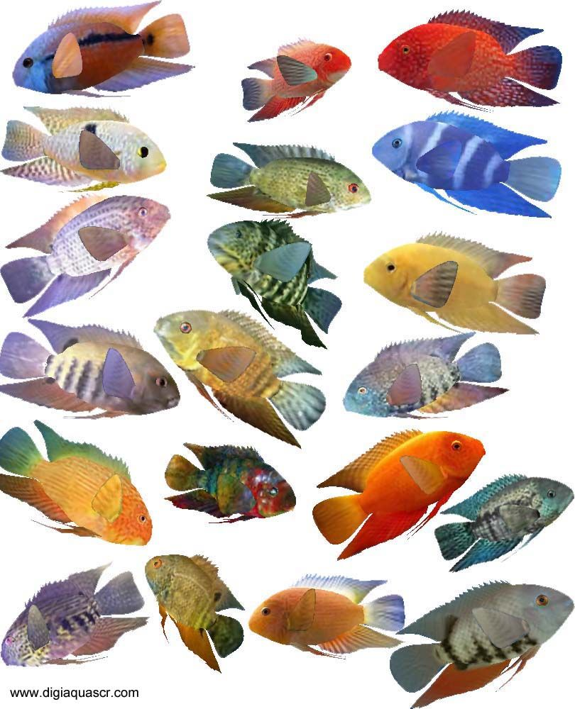 Freshwater aquarium fish list species - Severum Fish Species Gold Severum Green Severum Black Severum Different Types Of