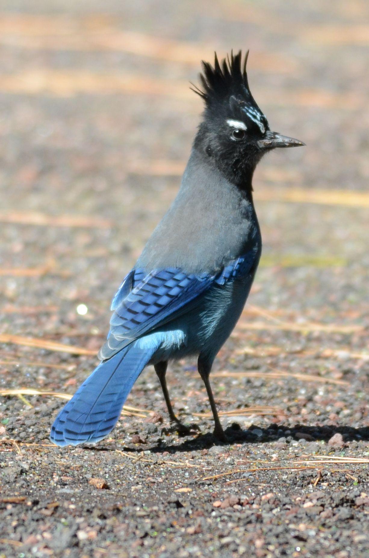 Steller's jay. El arrendajo de Steller o chara crestada es una especie de ave paseriforme de la familia de los córvidos de vivo color azulado ampliamente distribuido por Norteamérica y Centroamérica. SB