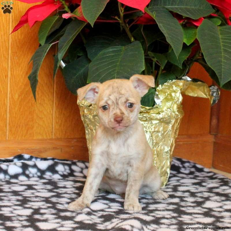 Wendy Chihuahua Puppy For Sale In Pennsylvania Chihuahua
