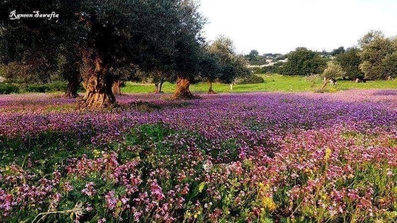 صور الطبيعة الخلابة على الطريق بين محافظتي طوباس وجنين تصوير رنين صوافطة Plants Farmland Outdoor