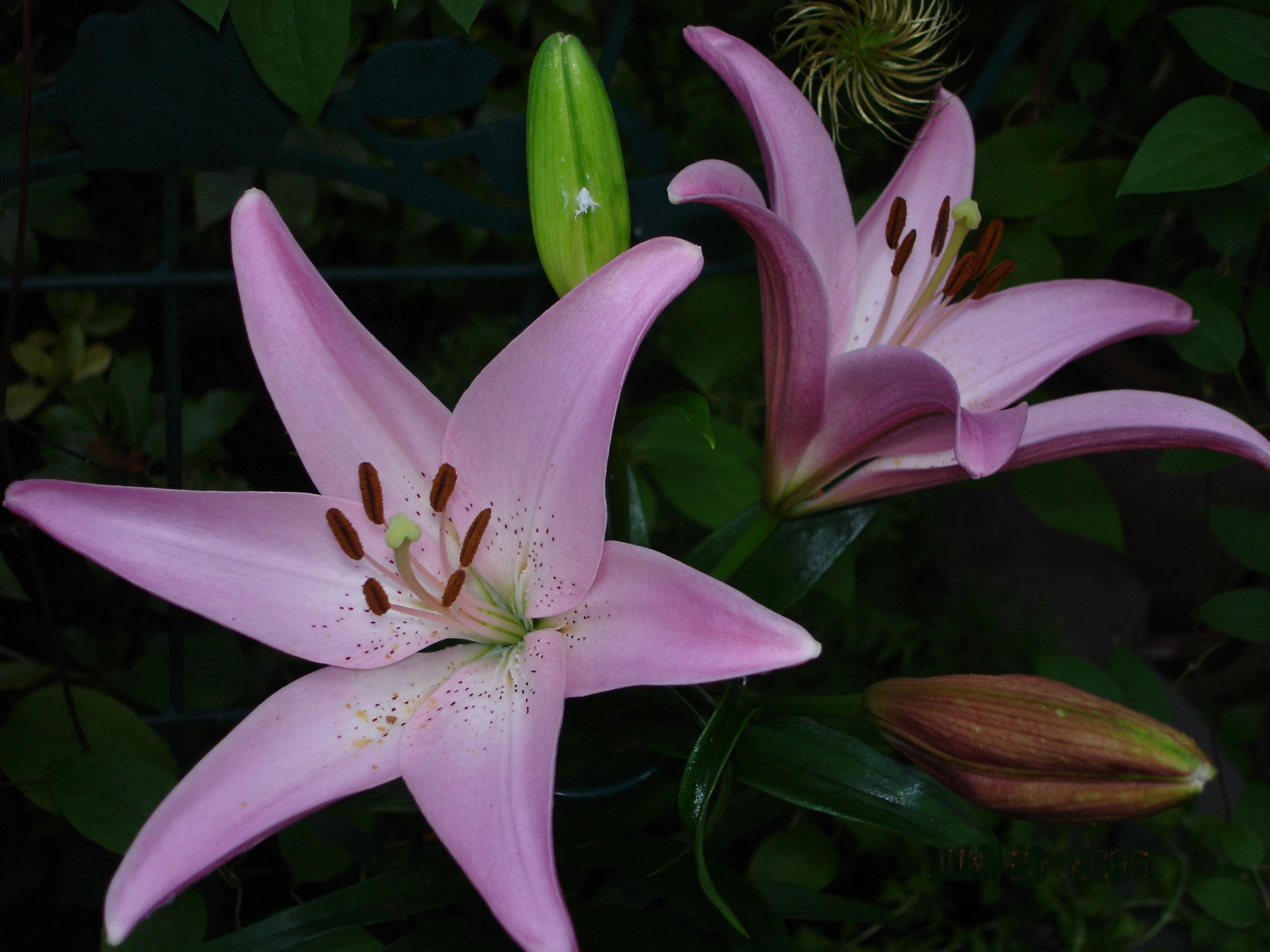 Purple lily susie d for the yardgarden pinterest purple lily purple lily susie d izmirmasajfo