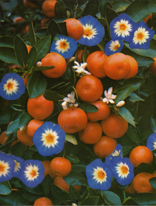 Morning Glories And Tangerines Flowers Orange Aesthetic Pictures
