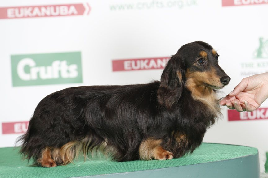 Willowheath Hendrix Dachshund Min Long Haired Dachshund Puppy