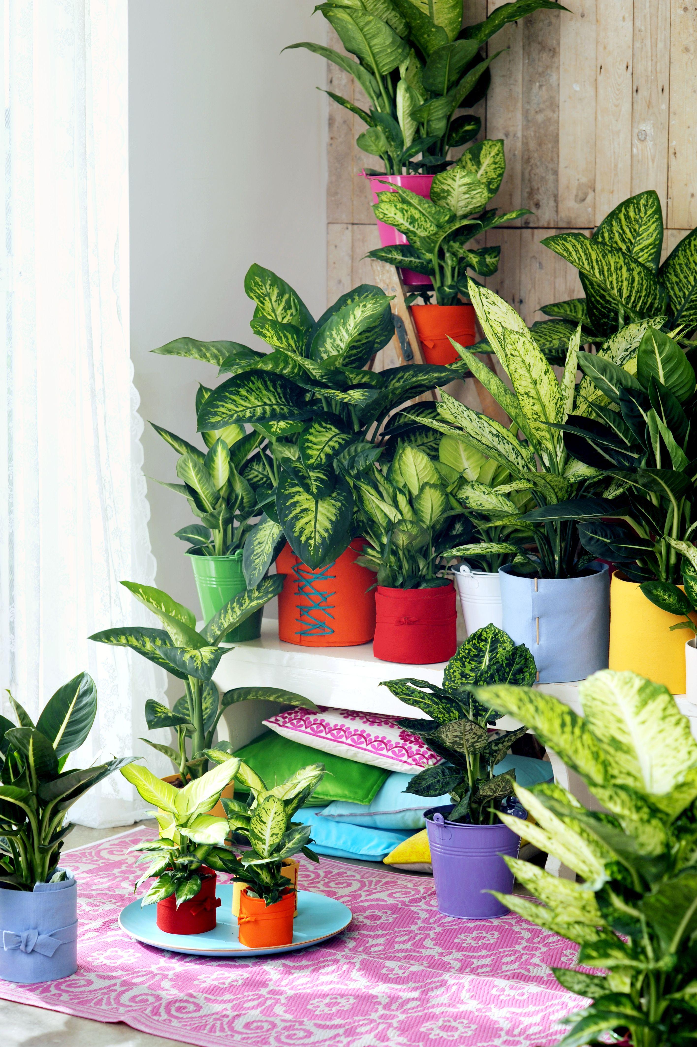 Dieffenbachia Plants House Plants Plant Decor