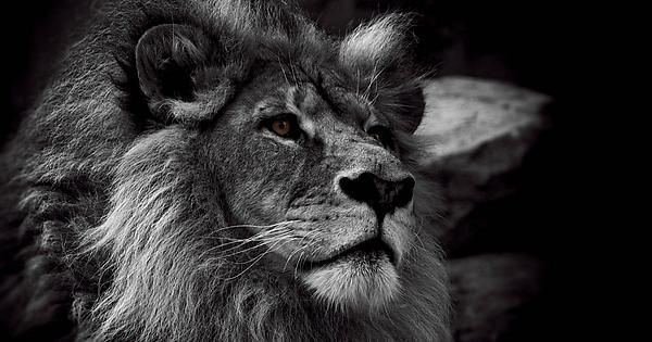 Lion Black And White Hd Lion Wallpaper Black And White Lion Lion Photography