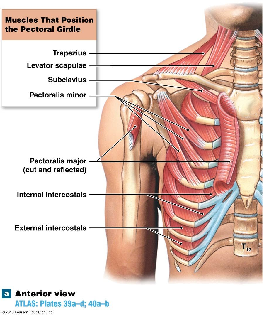 Muscle That Pull Up On The Ribs During Inspiration Anatomy And