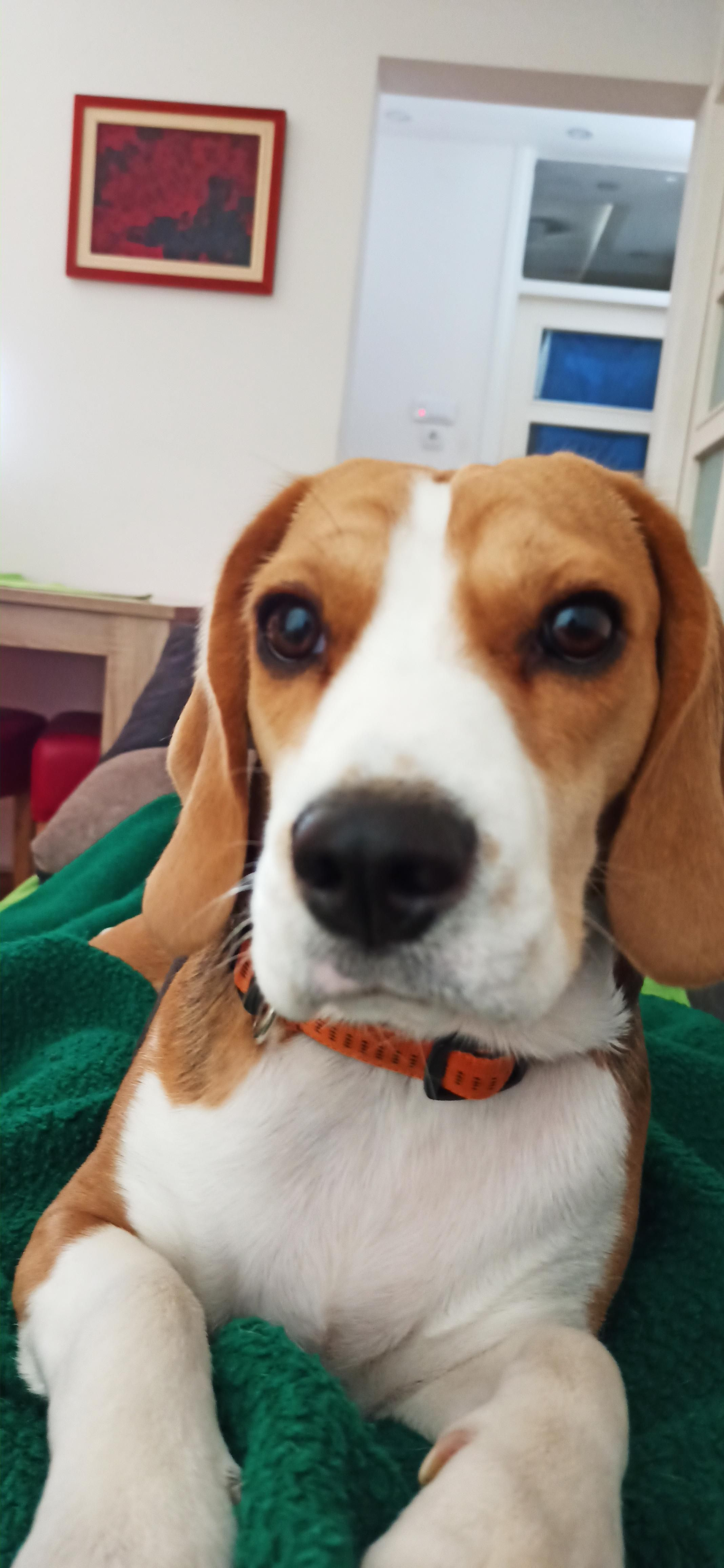 Do You Wake Up To This Https Ift Tt 2x3rhxo In 2020 Beagle